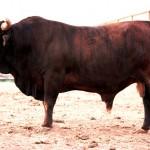 Bull Calves